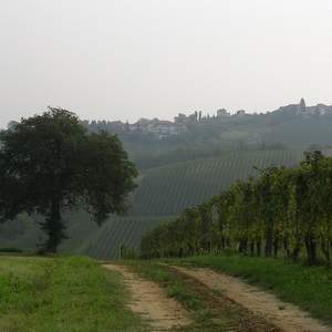 Vigne in Oltrepò Pavese